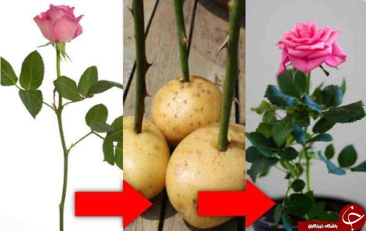 ترفندی جالب برای پرورش گل رز / چطور گل رز چیده شده را زنده نگه داریم؟!