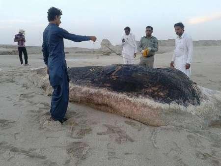 کشف لاشه یک نهنگ بزرگجثه در ساحل استان بوشهر