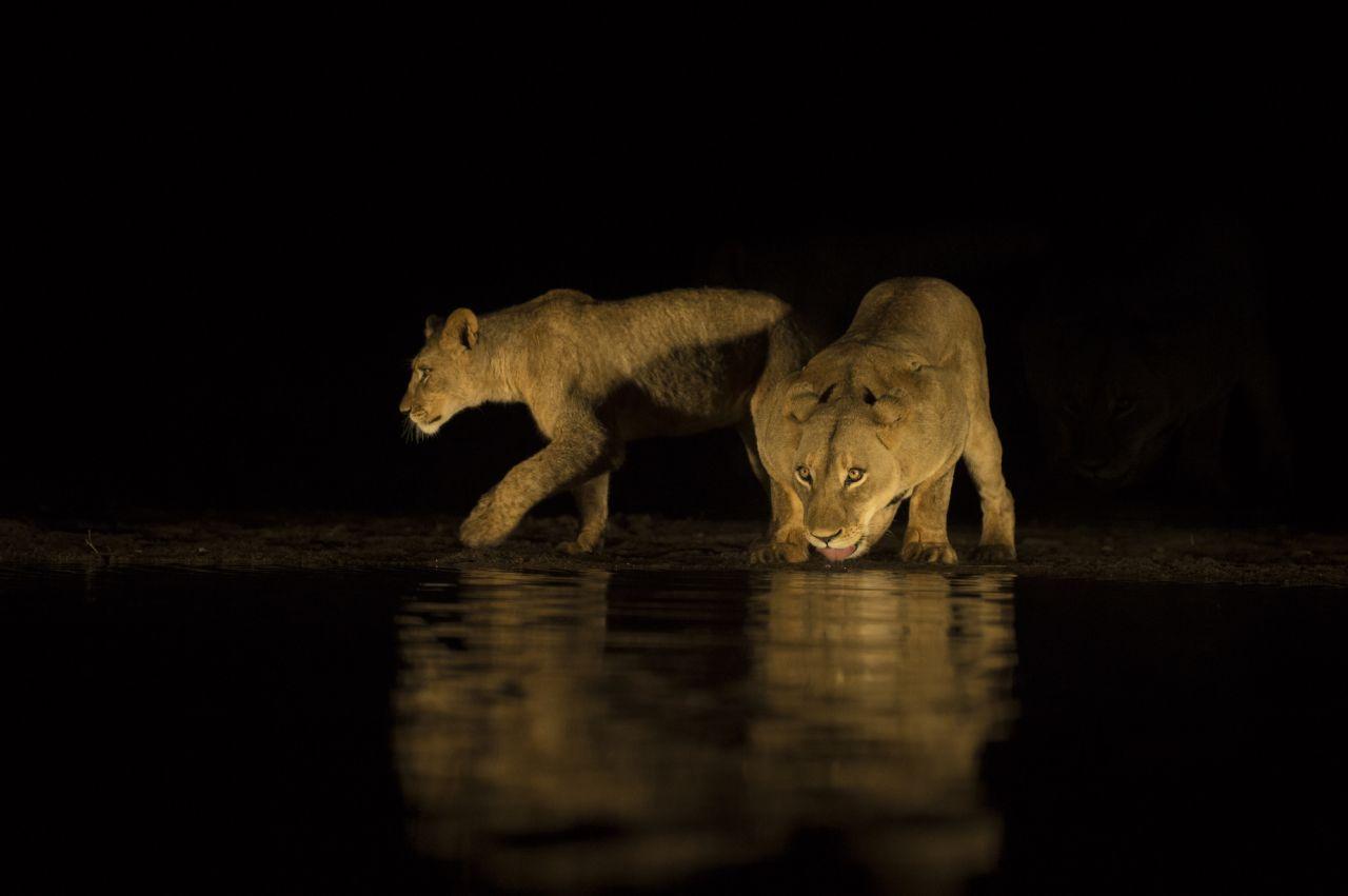 آب خوردن شیرها در شب +عکس