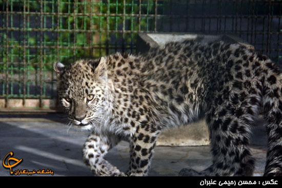 رسیدگی به وضعیت ارس، توله پلنگ ایرانی باغ وحش مشهد /درمان ارس در مشهد امکان پذیر است