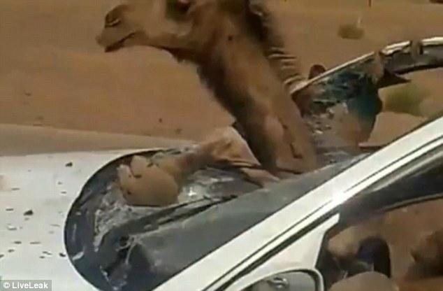 صحنه ای عجیب از تصادف یک خودرو با شتر! + فیلم