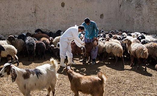 بیماری تب کریمه کنگو علایم خاصی در دامها ندارد/ کشتار مهمترین راه انتقال بیماری است/کاهش کانونهای بیماری تب برفکی در قم/تب مالت میتواند در گوسفند و بز سقط جنین ایجاد کند