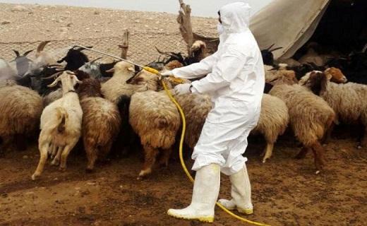 بیماری تب کریمه کنگو علایم خاصی در دامها ندارد/کاهش کانونهای بیماری تب برفکی در قم/تب مالت میتواند در گوسفند و بز سقط جنین ایجاد کند