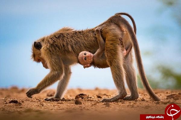 عکس روز نشنال جئوگرافیک از میمون بومی سریلانکا به همراه بچهاش