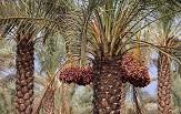 از بین رفتن ۳۰ هزار تن خرما در کرمان