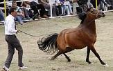 رونق پرورش اسب در رفسنجان