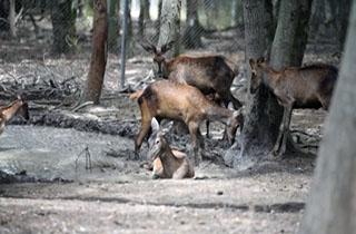 حفظ و نگهداری گونههای در معرض خطر گوزن در مازندران + فیلم