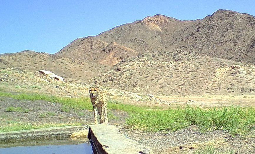 رویت یک قلاده یوزپلنگ آسیایی در پارک ملی توران