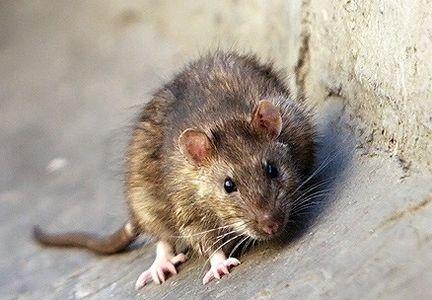 ماجراى انتقال موش هاى زنده به پایتخت چیست؟
