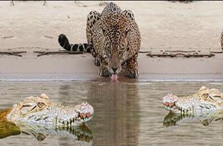 جدال پلنگ و تمساح در زیر آب + فیلم