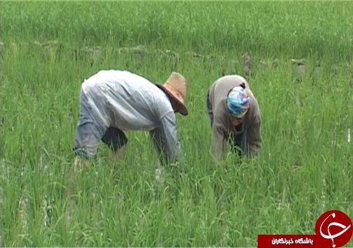 تیسا رقم جدید برنج مقاوم به کم آبی