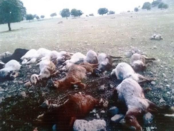برق 10 راس گوسفند را در بردسکن تلف کرد