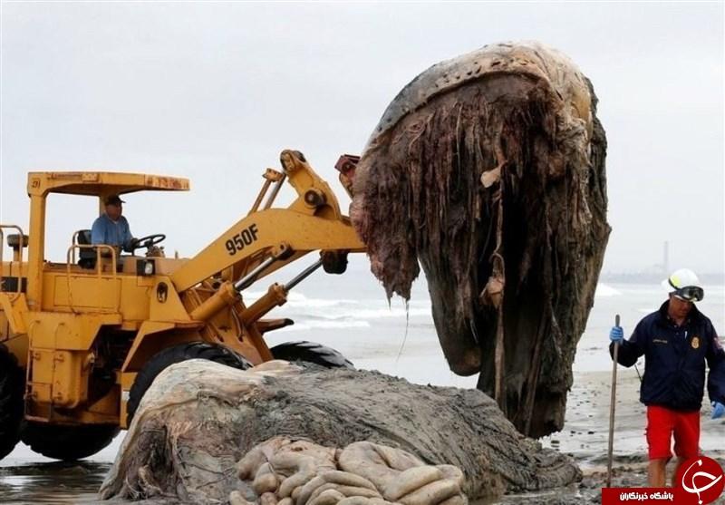 کشف لاشه یک موجود اسرارآمیز و عظیمالجثه در سواحل روسیه+ تصاویر