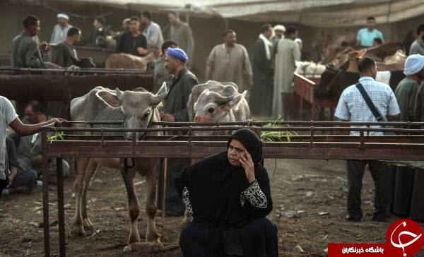 بازار داغ فروش دام در آستانه عید قربان در مصر+عکس