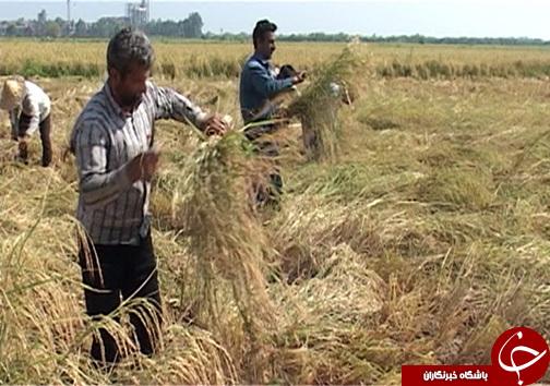 افزایش ۲ برابری برداشت برنج مقاوم به شوری در شمال با تلاش محققان سازمان انرژی اتمی
