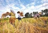 باشگاه خبرنگاران -برداشت ۷۰ درصد برداشت برنج در شالیزاری های مازندران
