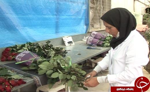 تولید گل رز هلندی در قلب کویر ایران
