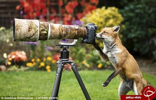 روباهی که عکاسی میکند +تصاویر