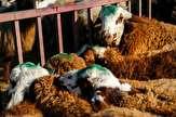 باشگاه خبرنگاران - گوشت گوسفندی گَرم برای عید قربان کیلویی چند؟