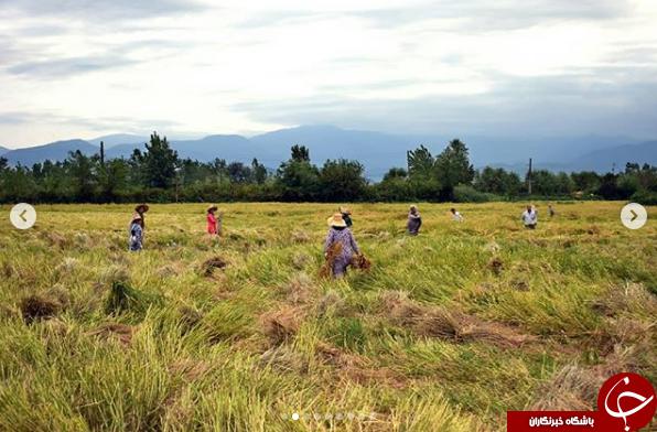 امام جمعه رشت برای کمک به کشاورزان آستین بالا زد+ تصاویر