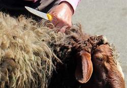 ویدئویی از یک اتفاق غیرمنتظره پس از خرید گوسفند برای عید قربان!