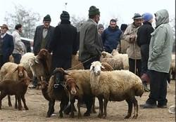 شیوه صحیح ذبح اسلامی/ چهار حیوانی که میتوانیم در عید قربان ذبح کنیم