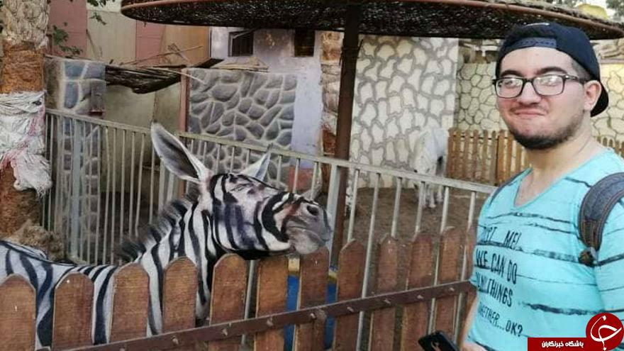 باغ وحش مصری الاغ رنگ شده را گورخر جا زد!+ تصاویر