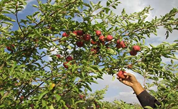 باشگاه خبرنگاران - پیش بینی برداشت بیش از 50 هزار تن سیب در شهرستان مهاباد