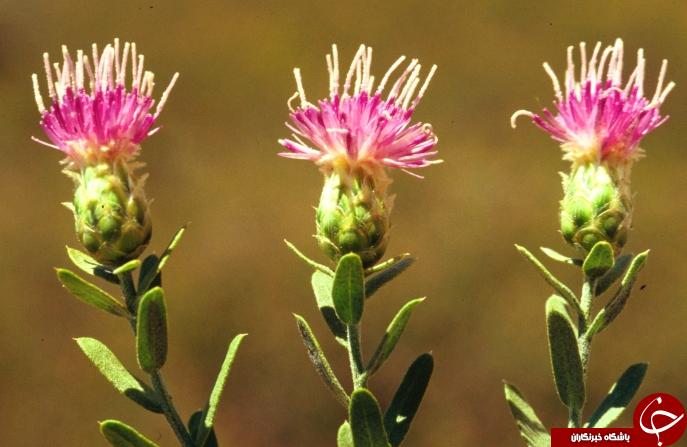 سیر تا پیاز گیاهی تلخ مزه به نام تلخه +خواص درمانی