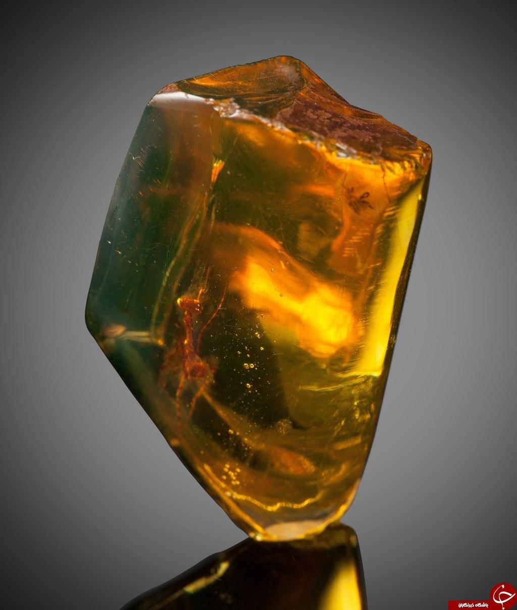 اسارت 12 میلیون سالی در کهربا+تصاویر