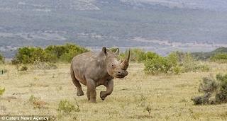 تلاش برای حفاظت از کرگدنها در آفریقا +تصاویر
