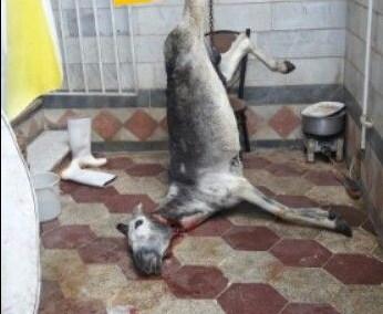 کشف لاشه الاغ ذبح شده در حیاط منزل/متهم در شهر گرگان مغازه کبابی دارد
