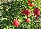 باشگاه خبرنگاران - پیش بینی برداشت ۱۴۶۶ تن انار از باغات سربیشه