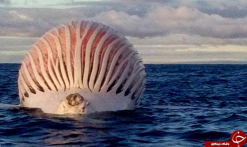 کشف موجودی عجیب و غول پیکر در غرب استرالیا+ تصاویر