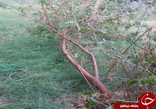 شکستن درختان در پی طوفان شدید در گرگان+ تصاویر
