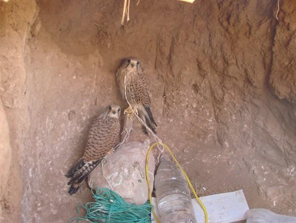 تلاش برای جلوگیری از قاچاق پرندگان شکاری