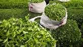 خرید تضمینی برگ سبز چای به ۱۰۵ هزارتن رسید/حداکثر نرخ هر کیلو چای ایرانی ۴۰ هزار تومان