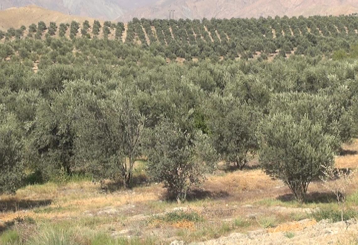 تولید بیشتر از 100 هزار تن زیتون در کشور / بیشتر از 40 درصد زیتون کشور در شهرستان طارم زنجان تولید می شود
