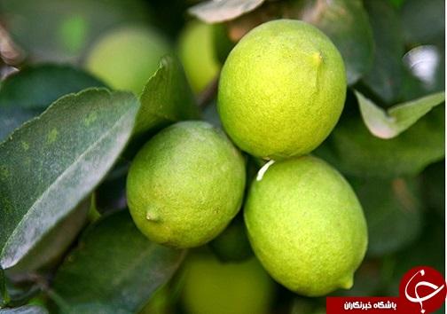 آبلیمو چاشنی خوش طعم سفره های ایرانی/خواص آنتی اکسیدان و ویتامین cموجود در لیمو برای بدن انسان بسیار مفید است