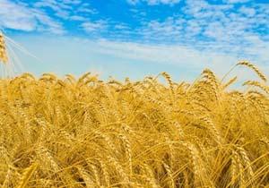 تولید 800 هزار تن گندم در شهرستان بهار