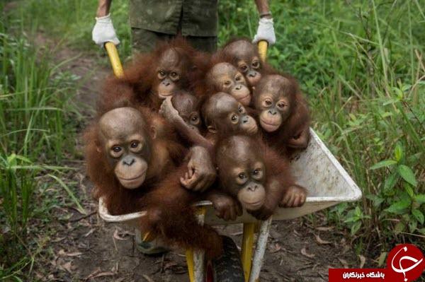 عکس روز نشنال جئوگرافیک از بوزینههای دست دراز در اندونزی