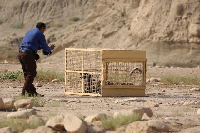 توضیحات بیشتر درباره زنده گیری و رهاسازی پلنگ ایرانی در دشتستان