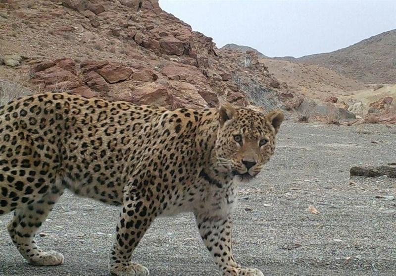 رویت ۳ پلنگ ایرانی در منطقه های مراقبت شده سمنان