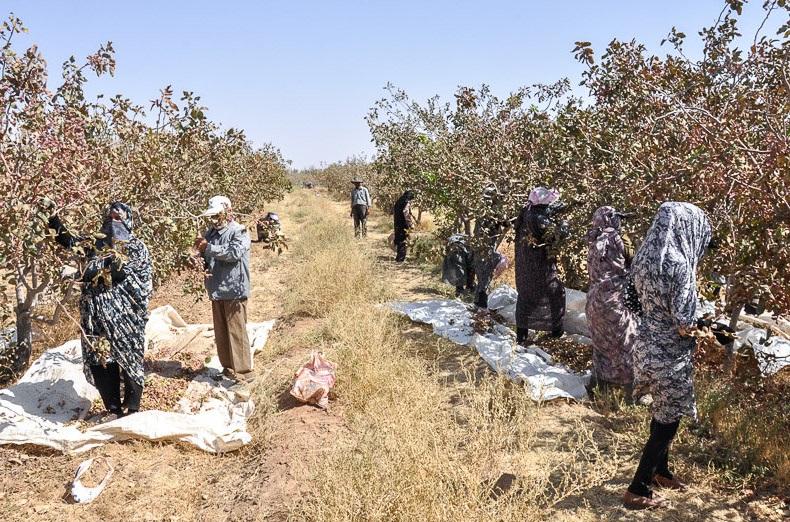 برداشت ۲۶۰۰ تن پسته از باغات شهرستان سیرجان