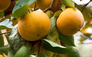 خواص میوههای پاییزی +اینفوگرافی