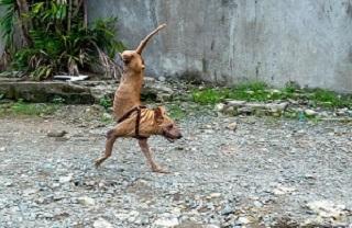 سگی که به طرز اعجابانگیزی روی دوپا راه میرود +فیلم