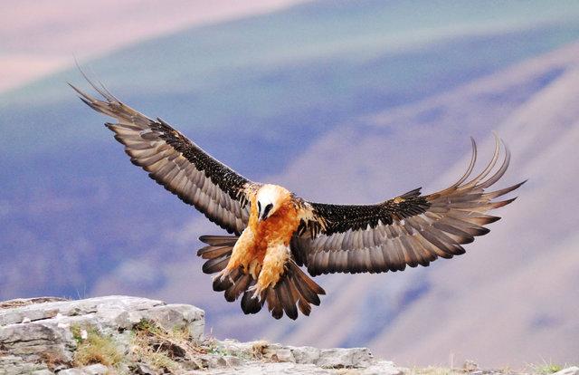 دستگیری متخلفان زنده گیری پرندگان شکاری کمیاب