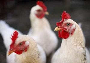 آنفلوانزای فوق حاد پرندگان گزارش نشده است