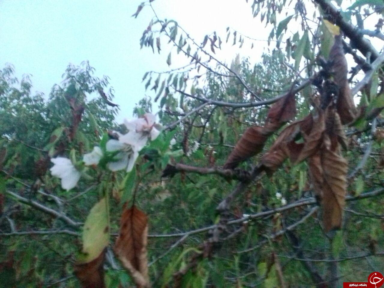 شکوفایی درخت گیلاس در «خوی» + تصاویر