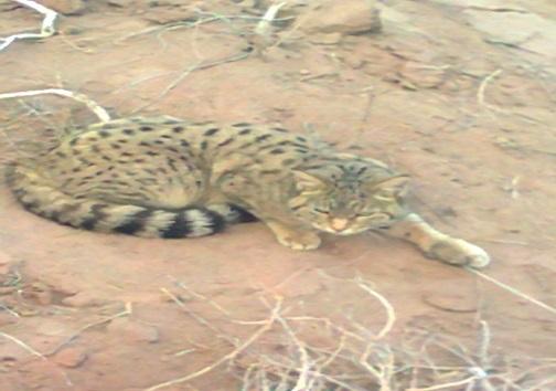 گربه شنی کوچکترین گربه سان دنیا